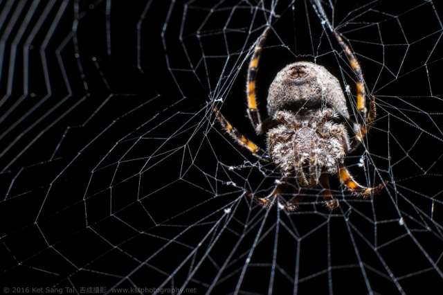Hairy spider on its web waiting for prey