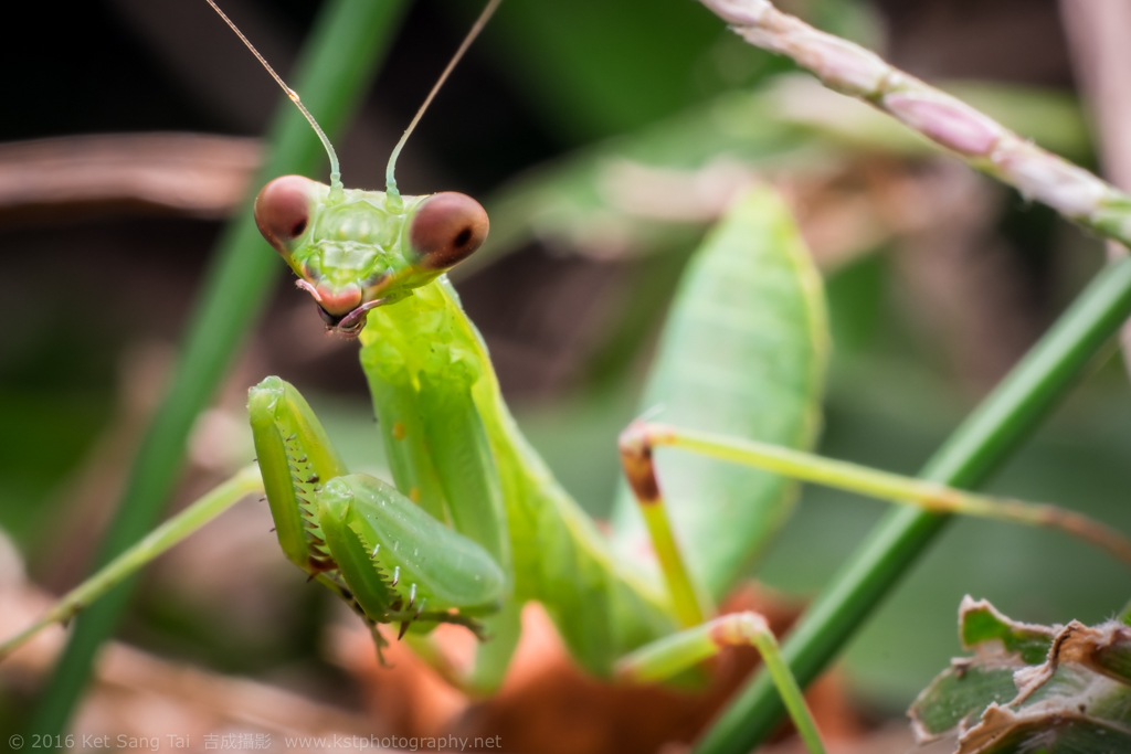 Green Praying Mantis on forest ground