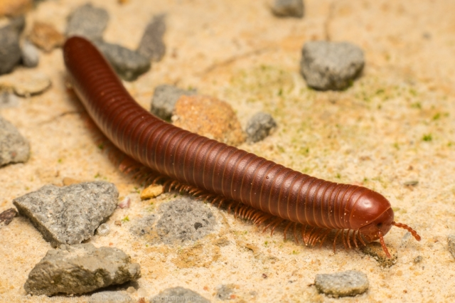 Brown milipede looking for food on the floor
